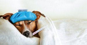 Comment se manifeste le rhume chez les chiens ?
