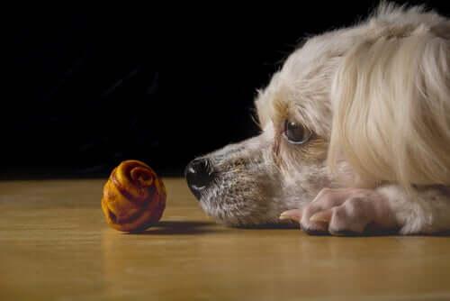 Un chien qui observe un objet par terre