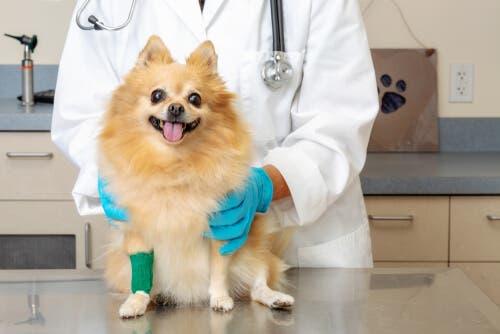 Un petit chien chez le vétérinaire pour traiter ses pattes enflées