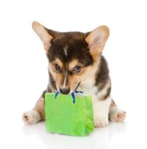 Un chien de race avec un paquet cadeau dans la gueule