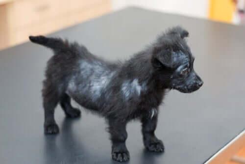 Un chiot sur la table du vétérinaire