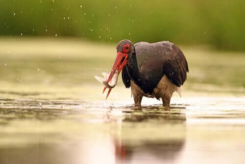 La conservation de la cigogne noire