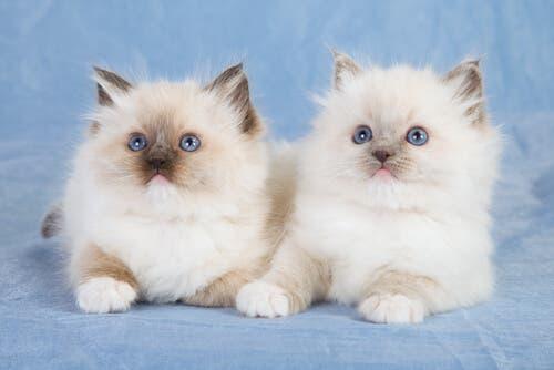 Les Ragdoll figurent parmi les races de chats les plus amicales