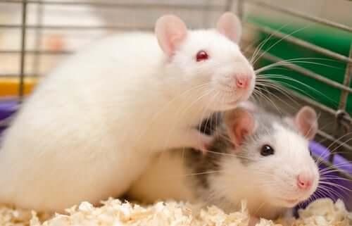 Deux rats dans une cage