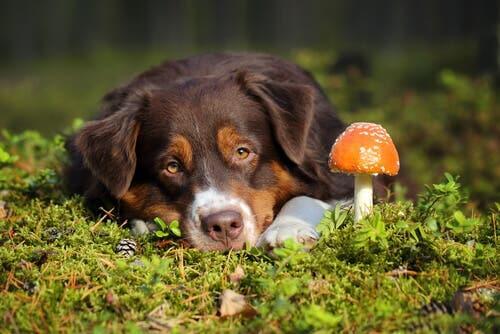 Empoisonnement d'un chien par des champignons