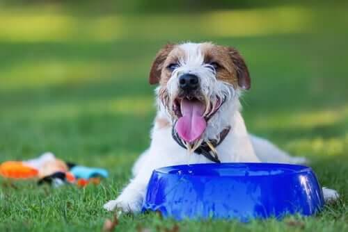 Un chien qui boit beaucoup d'eau