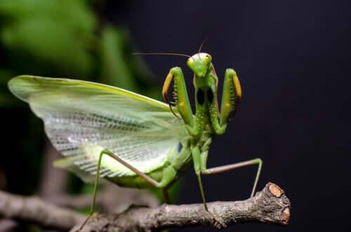 Une mante religieuse verte qui déploie ses ailes