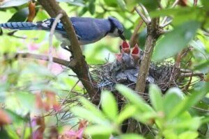 Le nid d'un geai bleu