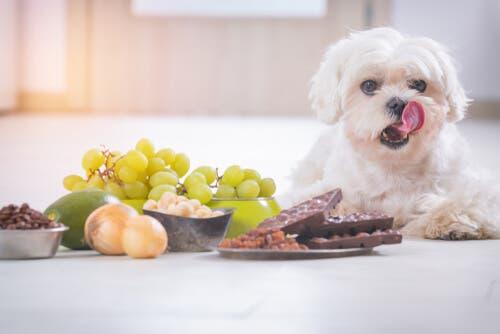 Un assortiment d'aliments toxiques pour les chiens
