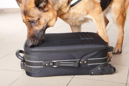 On entraîne les chiens policiers via leur système olfactif
