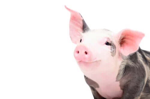 Un petit cochon noir et rose