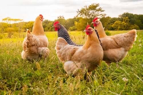 La grippe chez les poules