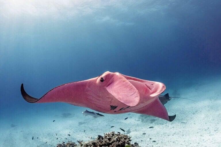 La raie manta rose de la Grande Barrière de Corail