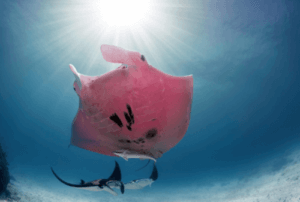 Une raie manta rose qui nage