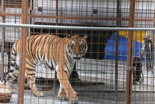 Maladies courantes des félins en captivité