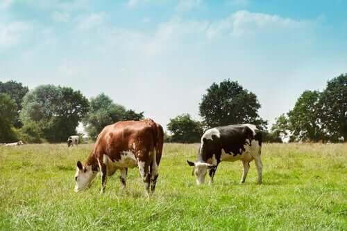 l'Escherichia coli et le bétail