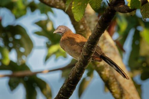 L'ortalide à ventre roux sur une branche