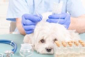 Acupuncture pour chiens : comment s'y prendre ?