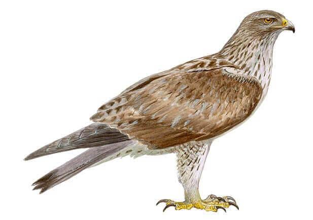 L'aigle de Bonelli et la conservation des aigles en Espagne
