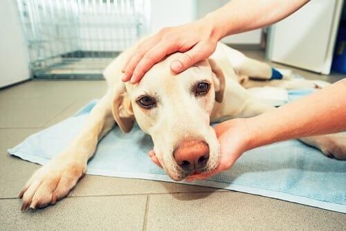 Un chien atteint d'un cancer de la rate