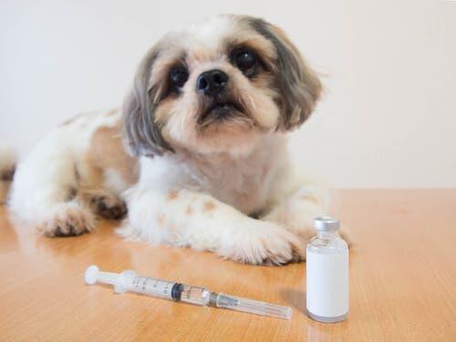 Un petit chien diabétique