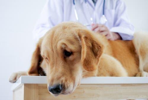 Un chien chez le véterinaire pour cause de maux de tête
