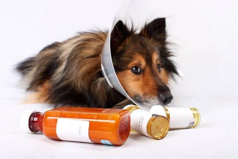 Un chien malade devant prendre des médicaments vétérinaires