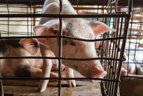 Un cochon dans une cage touché par la peste porcine africaine