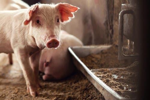 Crises actuelles de santé animale : le problème de la peste porcine africaine