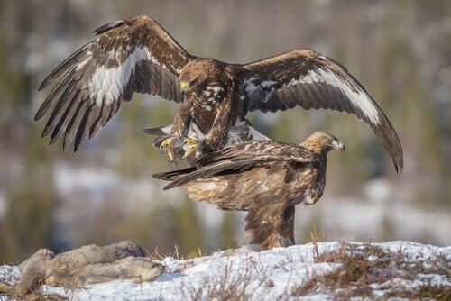La conservation des aigles d'Espagne
