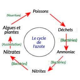 Le cycle de l'azote schématisé