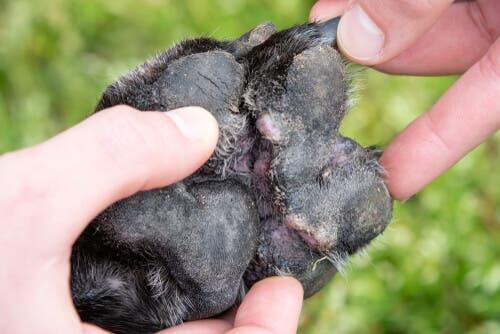La dermatite atopique sur la patte d'un chien