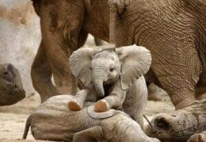 On ne sait pas précisément quels sont les jeux des éléphants en liberté