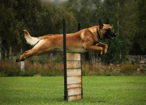 L'importance de l'exercice chez les chiens