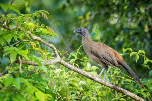 L'ortalide à ventre roux, un oiseau des tropiques