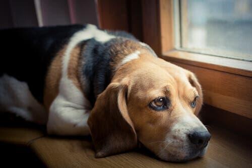 Un chien triste devant la fenêtre souffrant de maux de tête