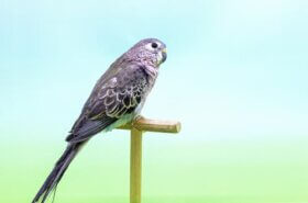 La perruche de Bourke : habitat et alimentation