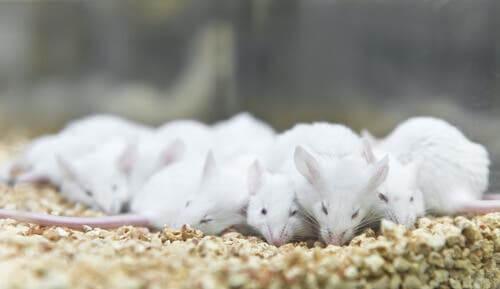 Des rats de laboratoire qui mangent