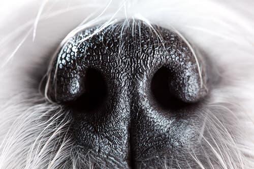 La truffe d'un chien, animal ayant un très bon odorat