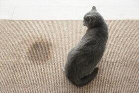 Comment éliminer l'urine d'un chat domestique ?