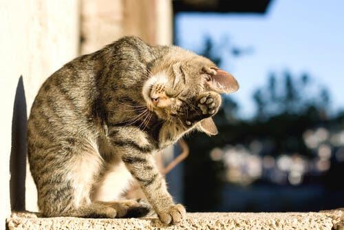 Les chats se lavent souvent
