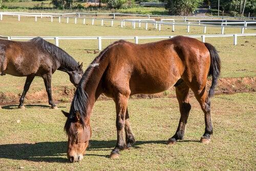 Des chevaux maigres