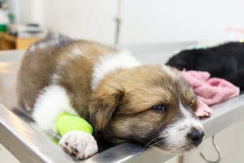 La vascularite chez le chien : que faut-il savoir ?