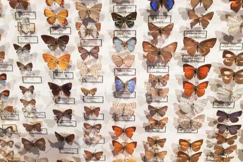 Le musée entomologique CURLA : les papillons protagonistes