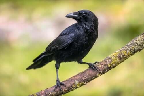 Les corbeaux et leur capacité cognitive