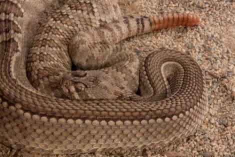 Le serpent Crotalus Atrox.