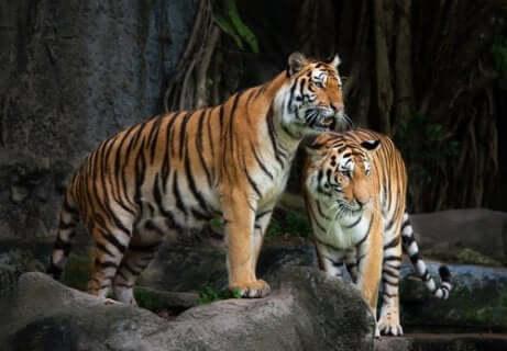 Deux tigres sauvages