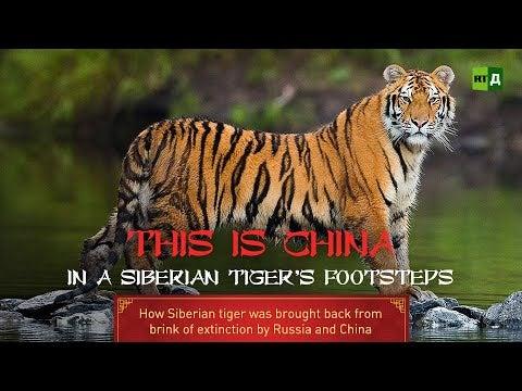 Un documentaire sur le tigre de Sibérie
