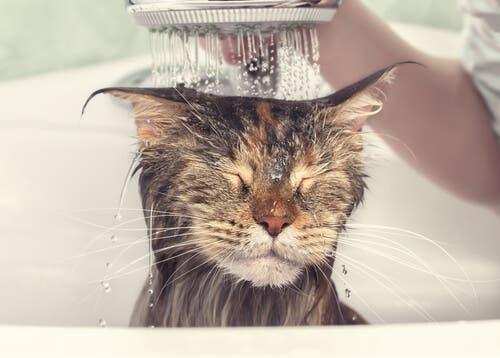 Même après un bain, les chats se lavent