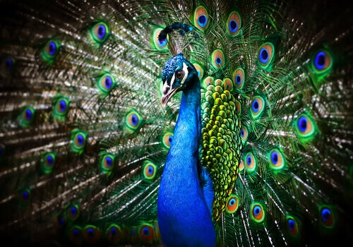 La roue chez les mâles paons et la sélection naturelle